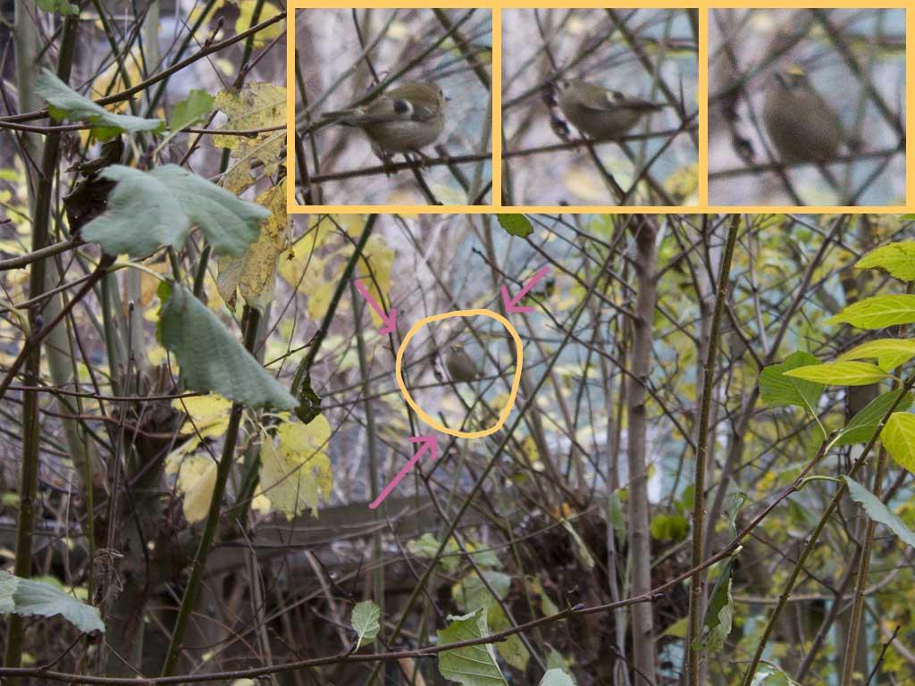 De tuin van Rob en Wiepkje - Waarneming van een Goudhaan (vogel)